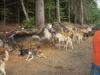 summer-camp-for-sled-dogs-skagway
