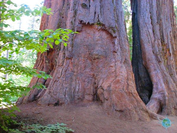 calaveras_big_trees_15