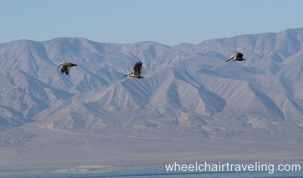 10_Pelicans flying by.JPG