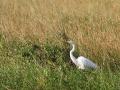 08_Great Egret on Anhinga Trail