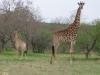 giraffe-group-4