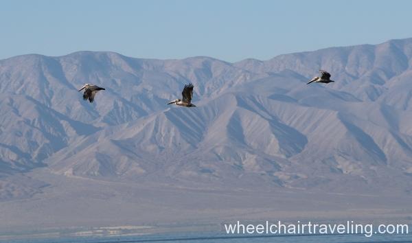 10_Pelicans flying by.JPG