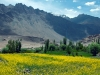 Mustard flowers on the way to Alchi