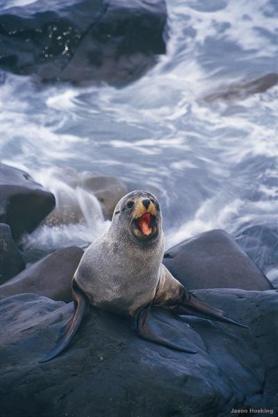 fur-seal-kaikoura