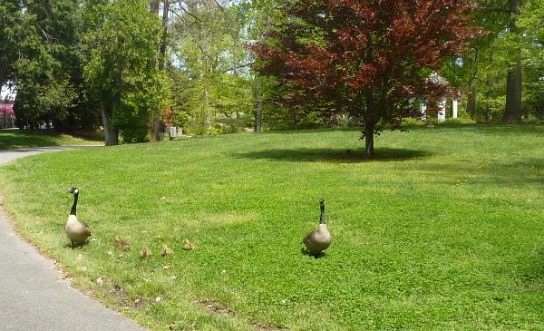 57_Geese Near Bloemandaal House
