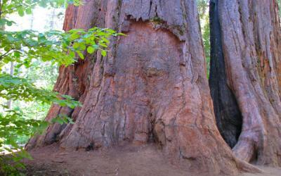 Calaveras Big Trees in the Sierras Mountains of CA